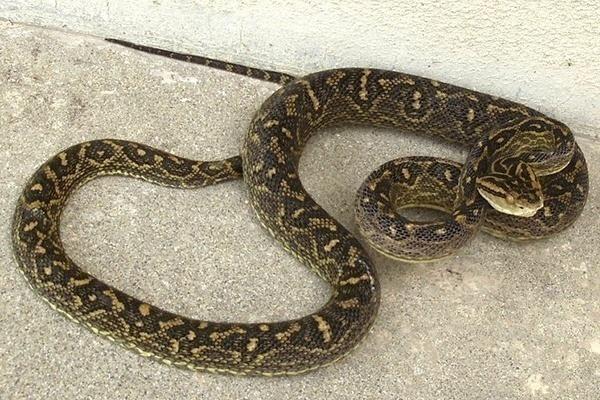 Snakes in Okinawa - OkiJETs